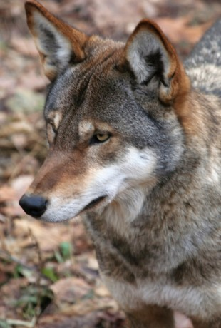 Red Wolf at the Syracuse Zoo