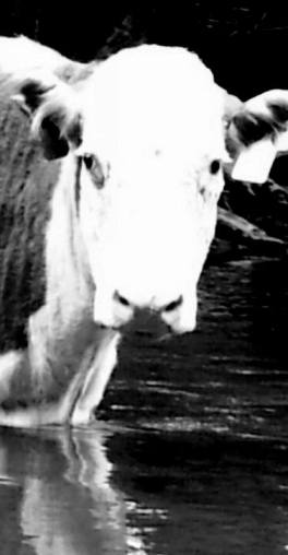 Collins River Cow
