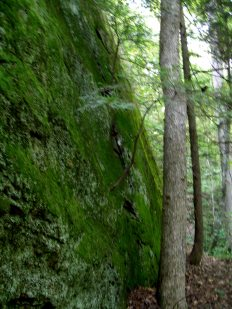 Hemlock tree stubbornly growing in a rock face.