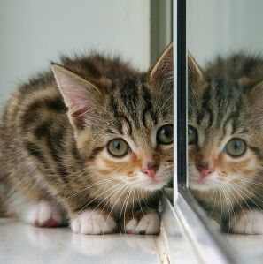 1014px-Kitten_and_partial_reflection_in_mirror