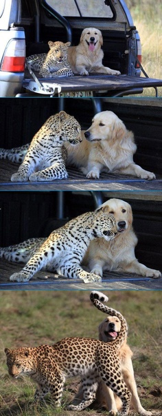 cheetah and dog